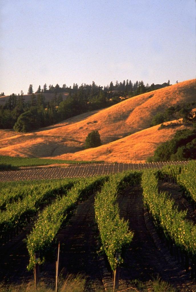Anderson Valley Vertical Vines-Photo: Richard Gillette