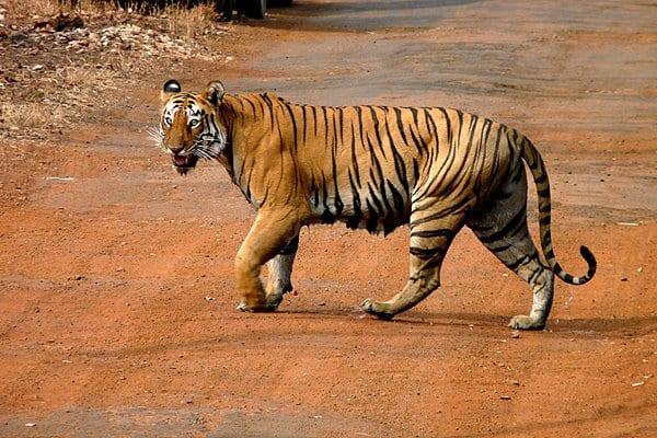 Panthera Tigris Tadoba Inda