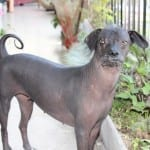 Guardian of the Past: The Peruvian Hairless Dog